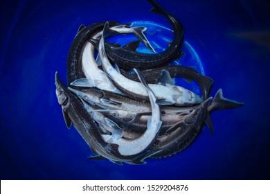Fresh raw sturgeon fishes in blue bucket