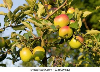 Fresh red apples on tree in garden