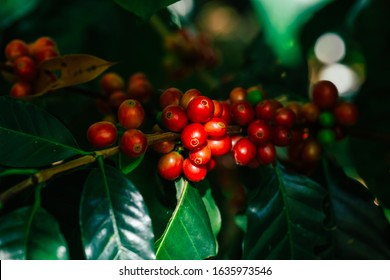 Fresh red Arabica cherry coffee beans with coffee trees