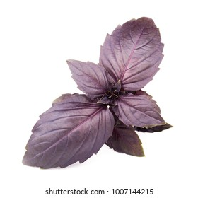 Fresh red basil herb leaves isolated on white background. Purple Dark Opal Basil