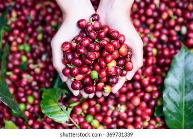 Frutas vermelhas frescas grãos de café na mão da mulher