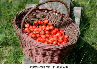 fresh red cherries in wicker basket