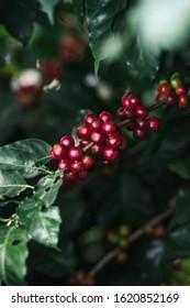 Fresh red coffee red cherry coffee bean - tree coffee - fruit