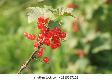 Fresh red currants on the branch