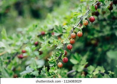 Fresh red gooseberries on a branch  with sunlight