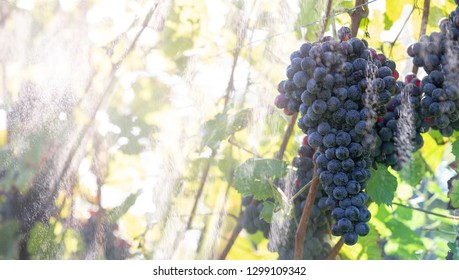 Fresh red grapes during autumn crop