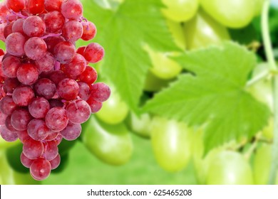 fresh red grapes in unfocused grapes  plant background
