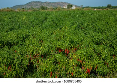 Fresh Red and Green chillies growing in agricultural field of Andhra Pradesh ,India,Asia