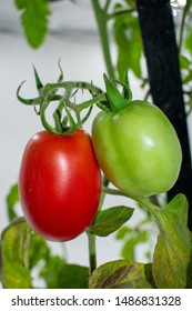 fresh red and green Roma tomatoes on the bush. in close-up