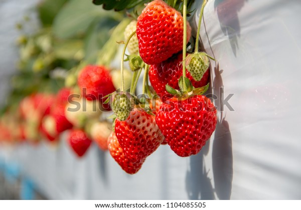 fresh red and green Strawberry fruits in a farm on sunshine day.