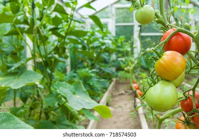 Fresh red and green tomatoes hanging on plant. Tomatoes growing in film greenhouses.