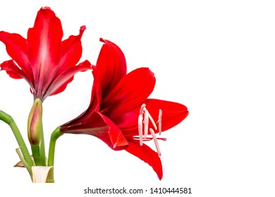 Fresh red Hippeastrum ,Amaryllis or Phonetic flower isolated on white background