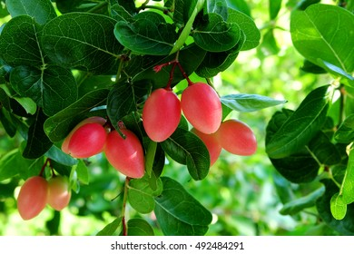 Fresh red Mango Lime yawn yell fruit on the tree with green leaves