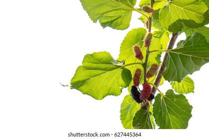 Fresh Red  mulberry fruit on tree, Berry in farm.