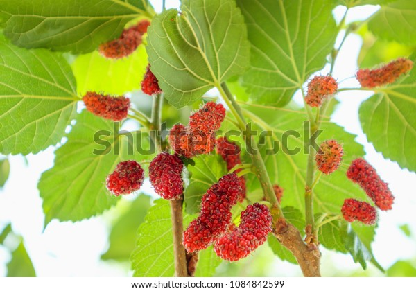 Fresh red mulberry fruits on tree branch