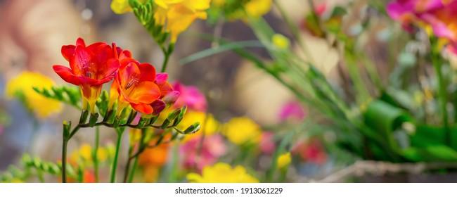 Fresh red and orange freesia flower over defocused banner background