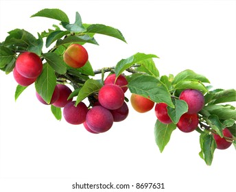 Fresh Red Plums on a branch.