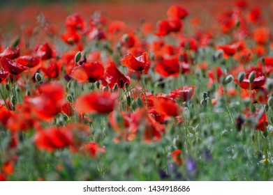 fresh red poppies on the field
