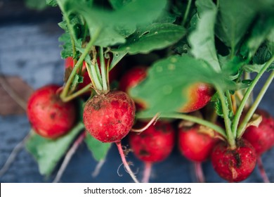 Fresh red radishes are harvested in your own garden