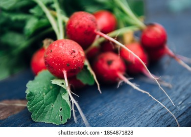 Fresh red radishes are harvested in your own garden. Close up