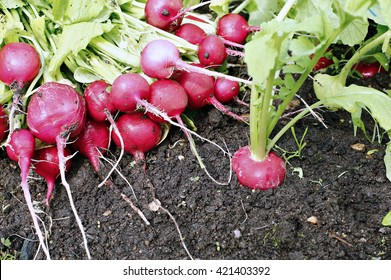 Fresh red radishes with leaves and growing radish plant in the garden