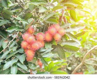 Fresh red rambutan in rambutan orchard