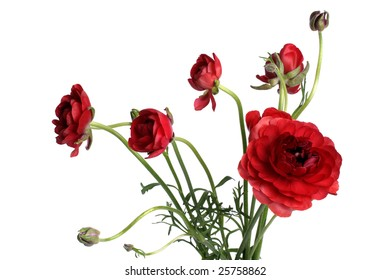 Fresh red ranunculus flowers with buds over white