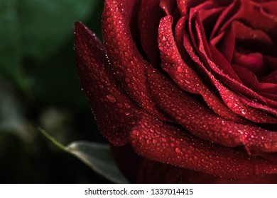 Fresh red rose after the rain - morning dew
