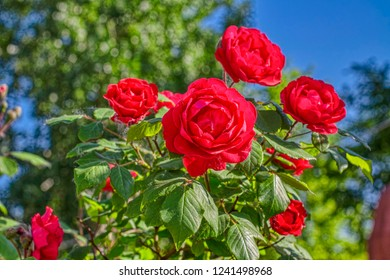 fresh red roses in the garden