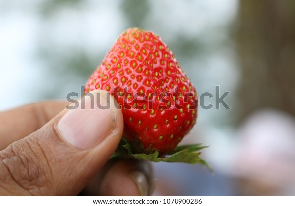 Fresh red strawberries are held with fingers