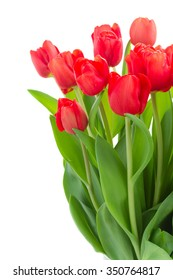 fresh red tulip flowers isolated on white background