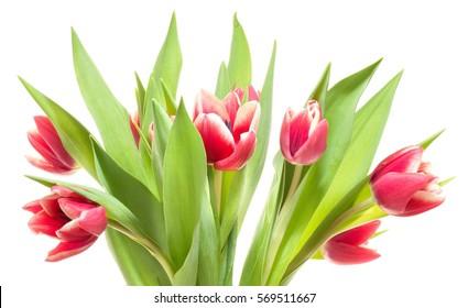 Fresh red tulips.