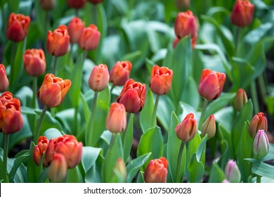 Fresh red tulips blossom at garden
