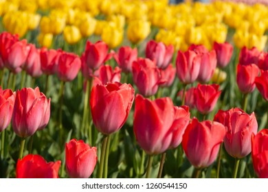 Fresh red and yellow tulips blooming in garden with strong sunlight in soft focus; blurred tulips pattern.