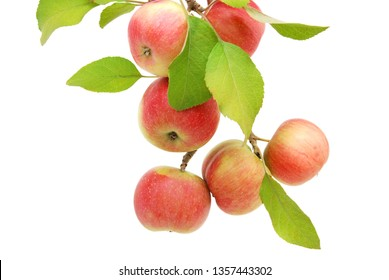 A fresh ripe apple branch