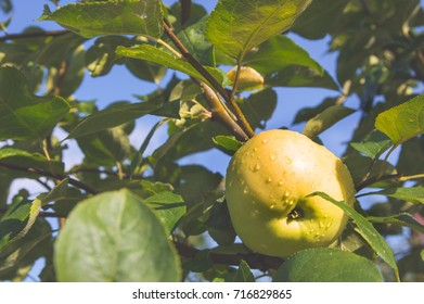Fresh ripe apple on a tree branch