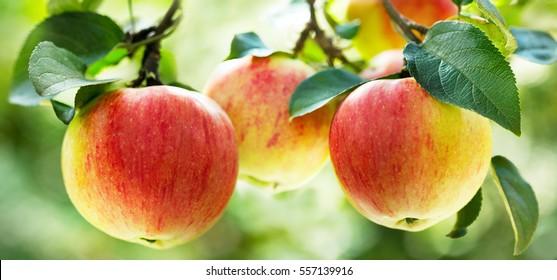 fresh ripe apples on a tree in a garden