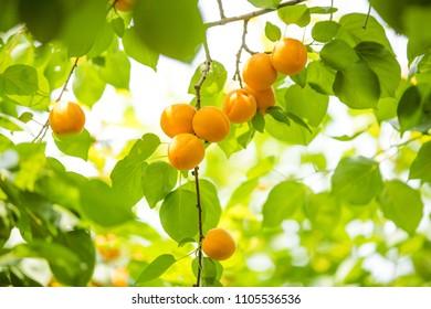 fresh ripe apricot hanging on trees