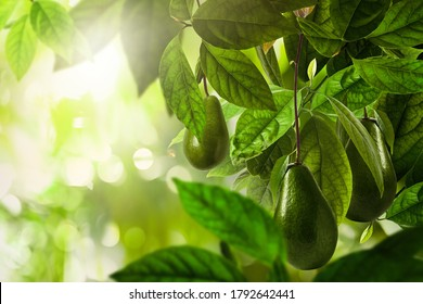 Fresh ripe avocados growing on tree outdoors, space for text