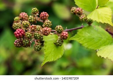Fresh ripe blackberries growing on the vine in summertime