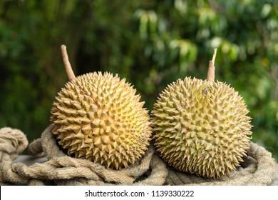 Fresh ripe durian fruit as king of tropical fruit