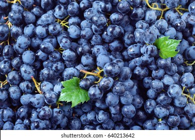 Fresh ripe grape with drops. Macro. Food background. Dark grape. Blue grape. Wine grape.