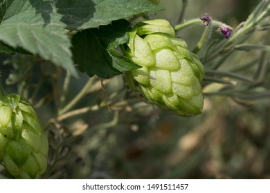 Fresh and Ripe Hops ready for harvesting, close up. Beer production ingredient. Brewing concept.