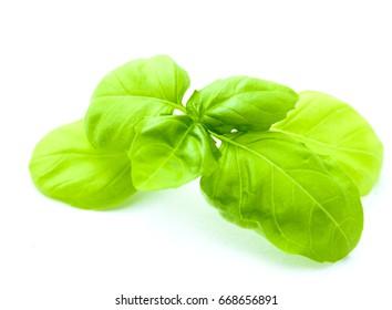 fresh and ripe leaf of basil isolated