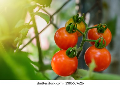 Fresh ripe natural tomatoes in  the garden.