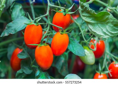 Fresh Ripe natural tomatoes growing on a branch in farm