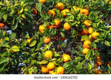 fresh ripe orange on plant, orange tree
