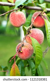 Fresh ripe organic peaches on branch growing in garden. Peach tree.