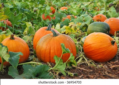 Fresh, ripe, pumpkins growing in field.