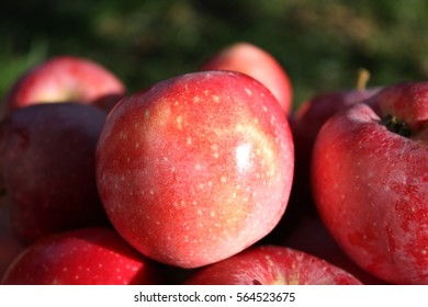Fresh ripe red apples with a natural patina is now rip with tree on outdoor . The concept of printing organic background on horticulture, agriculture and traditions of autumn fruits.